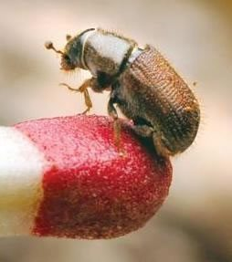 bark-beetle