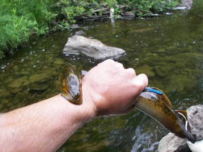 A picture of a sea lampre courtesy of MSU