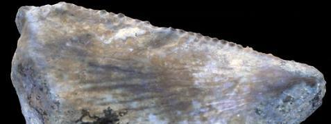saudi dinosaur tooth480