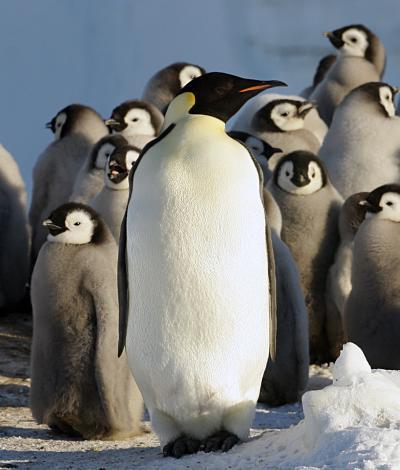 penguins by Robin Cristofari, CNRS IPEV