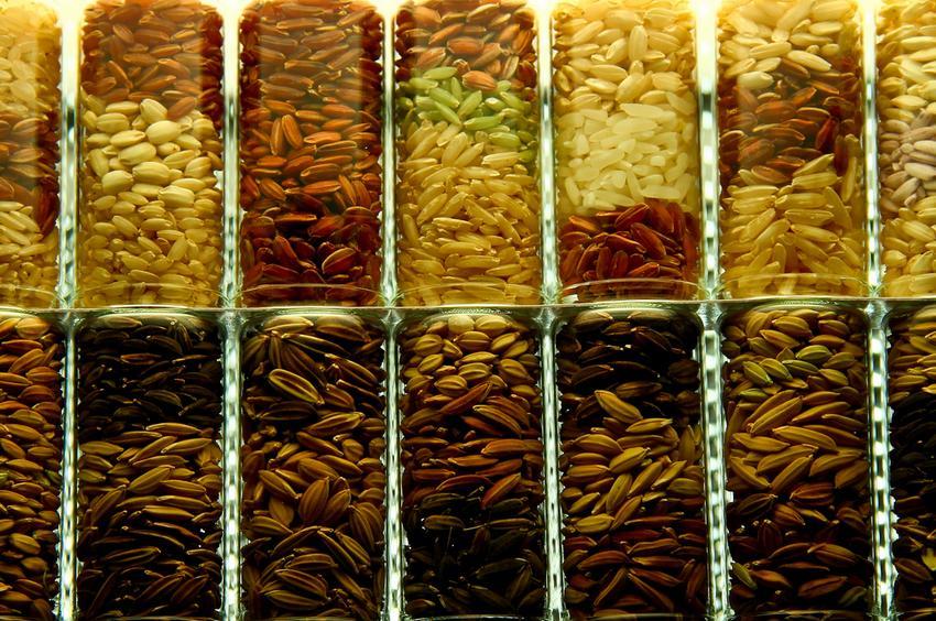 rice strains by IRRI