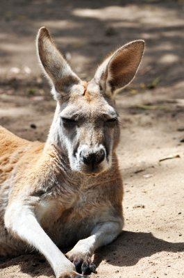 kangaroo by freedigital and Michelle Meiklejohn
