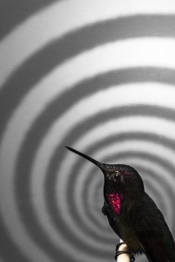 hummingbird by © Matthew Shain 2014
