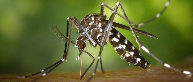 tiger-mosquito by wikiimages 620