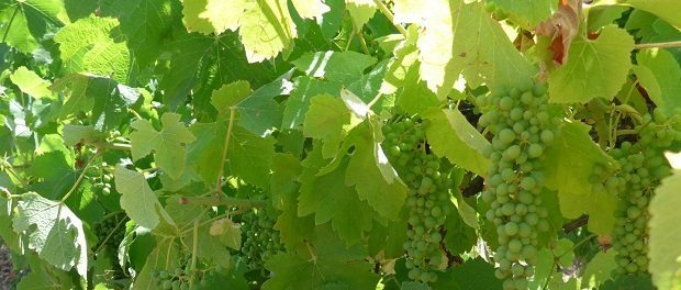 Wine grapes b