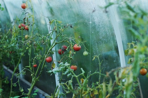 tomato battery, tomatoes
