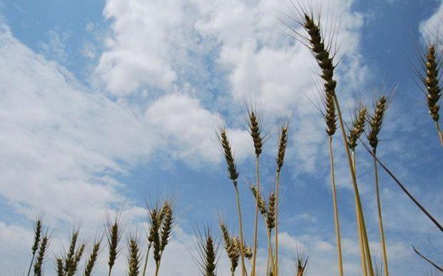 evolutionary history of wheat