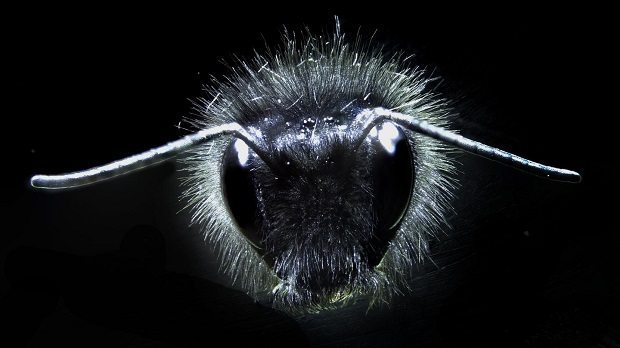 Bumblebee close up by University of Bristol