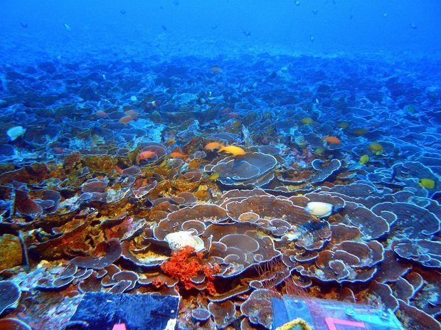 Mesophotic Coral Ecosystem by NOAA's Hawai'i Undersea Research Laboratory, deeper, not bleached coral reefs
