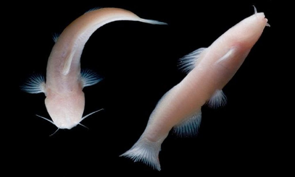 Blind catfish