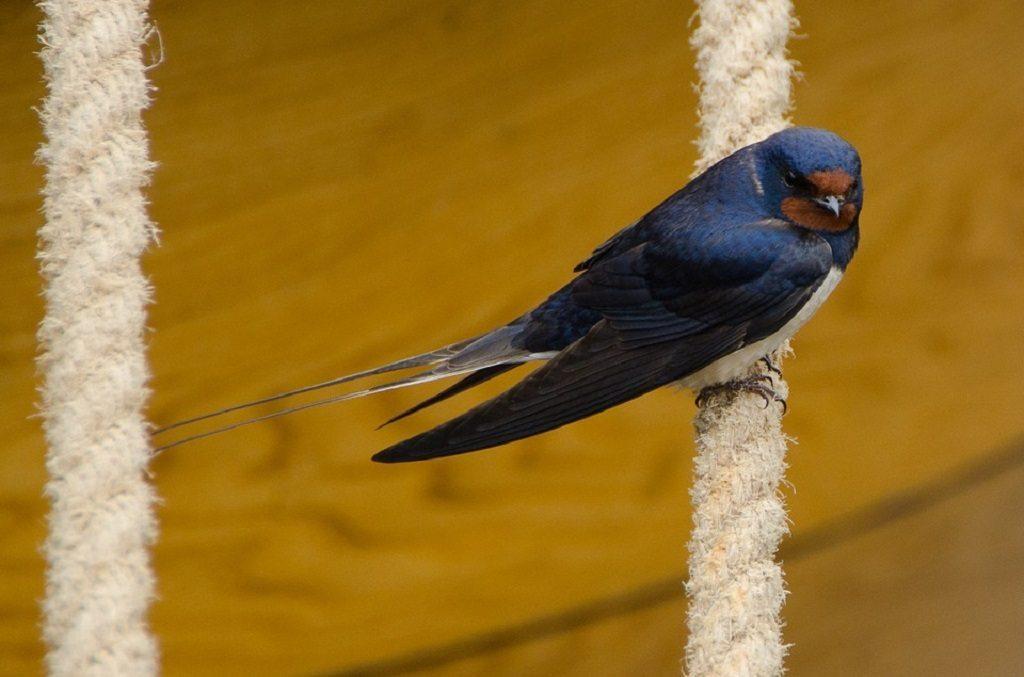 swallow, UK wildlife