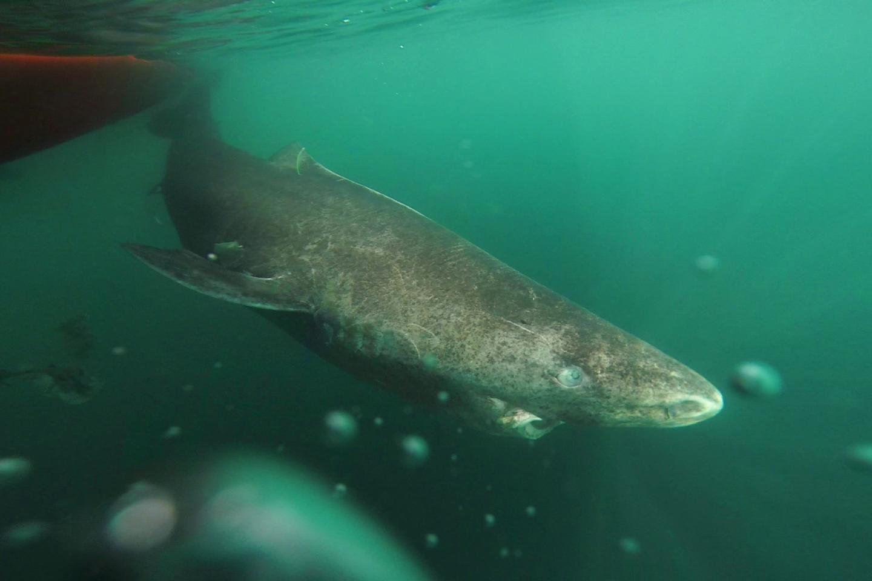 Greenland sharks