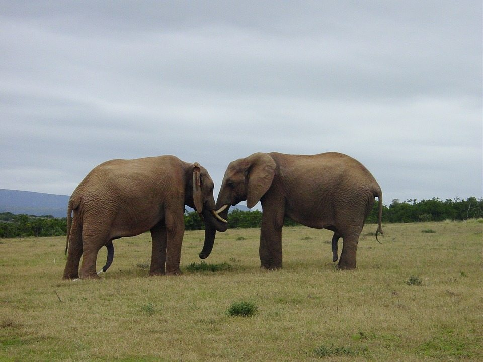 elephants, bragging,
