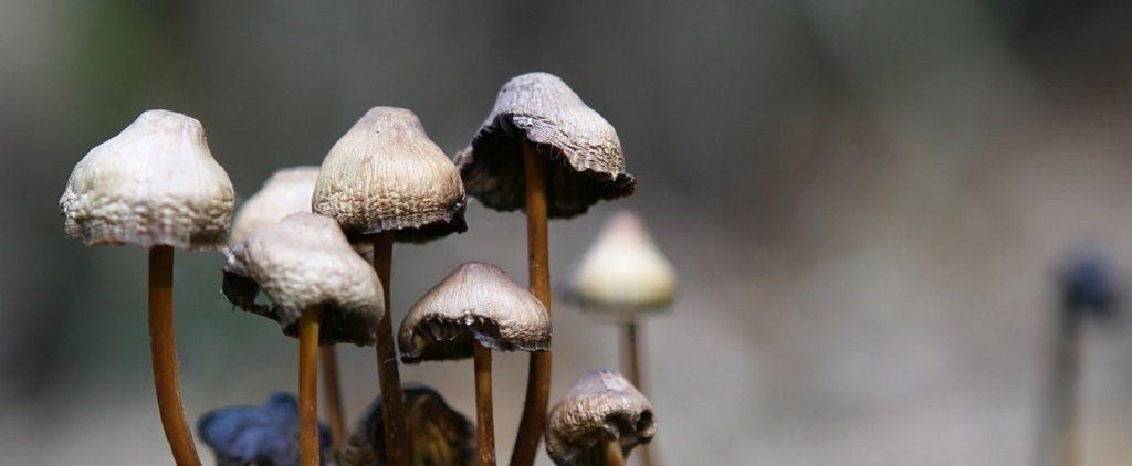 psilocybin, magic mushrooms