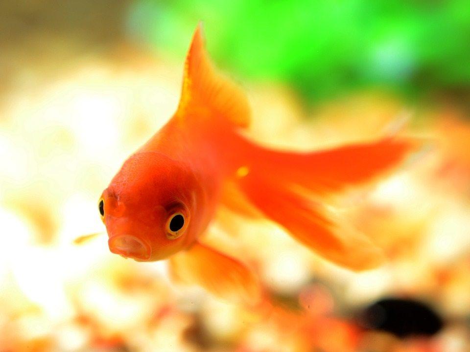 how goldfish make alcohol